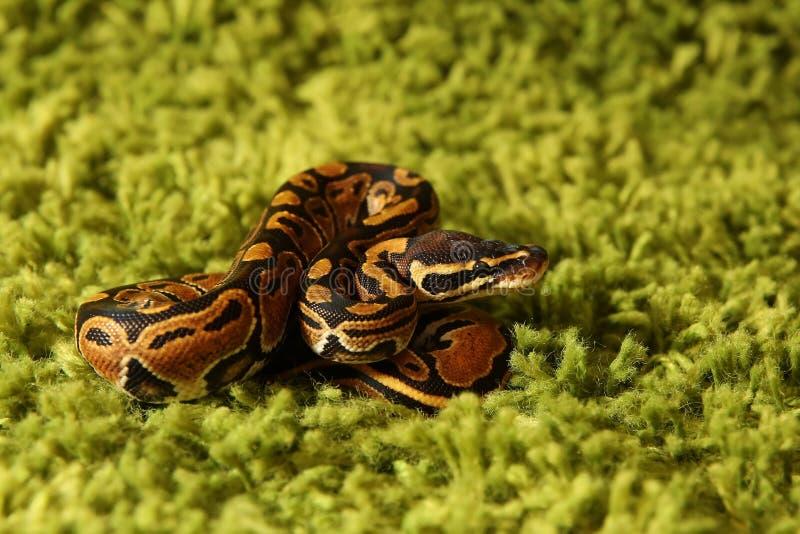 Regius orm för pytonorm (kunglig person- eller bollpytonormen) royaltyfri foto