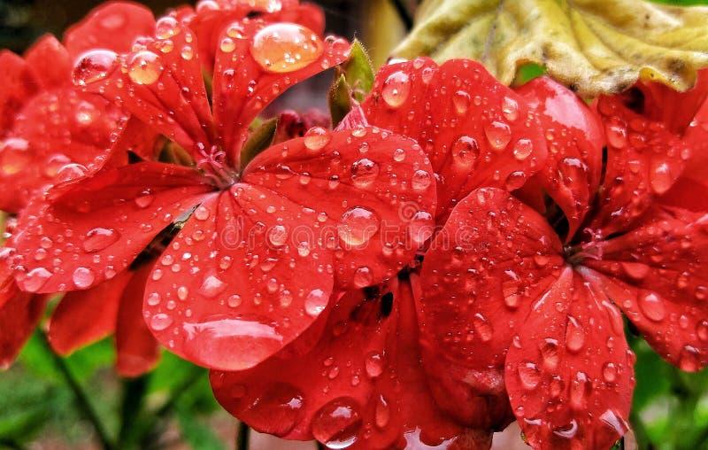Regn kysste blommor royaltyfri fotografi
