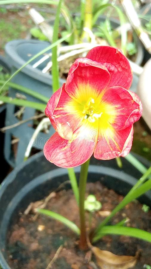Regn lilly arkivfoto