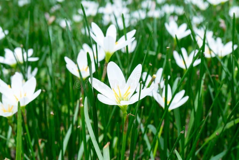 Regn Lily White (Zephyranthes Candida) royaltyfria bilder