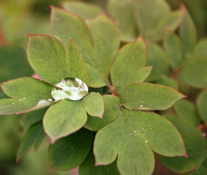 Regn samlade in i en stor droppe mellan sidorna av en växt för blödande hjärta royaltyfria foton