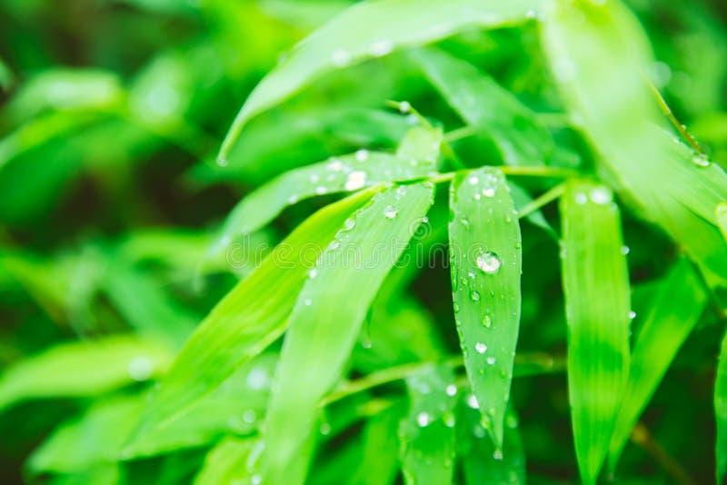 regna säsong regndroppar på det gröna bladet av bambu royaltyfri bild