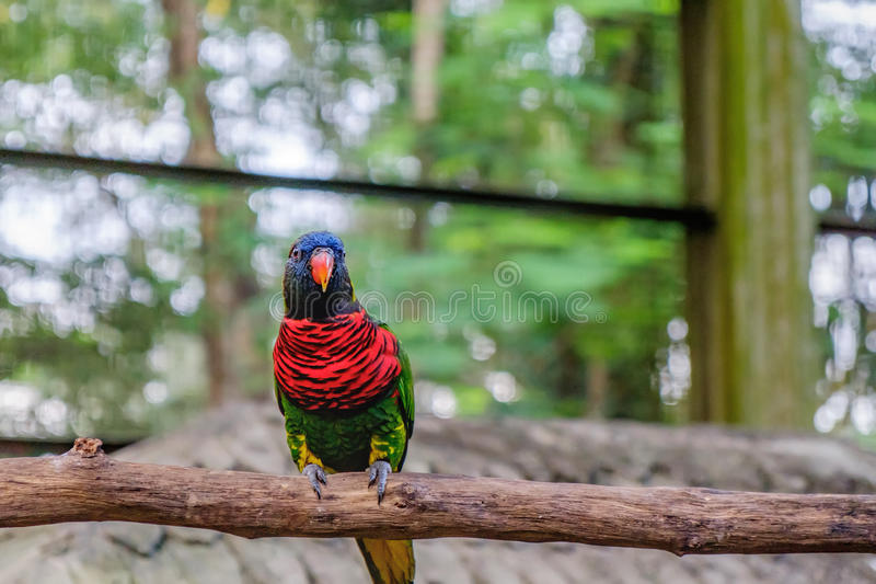 Regnbåge Lorikeet i roost fotografering för bildbyråer