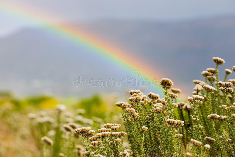 Regnbåge och regndroppar på en solig dag med Fynbos blommor från Kapstaden royaltyfri bild