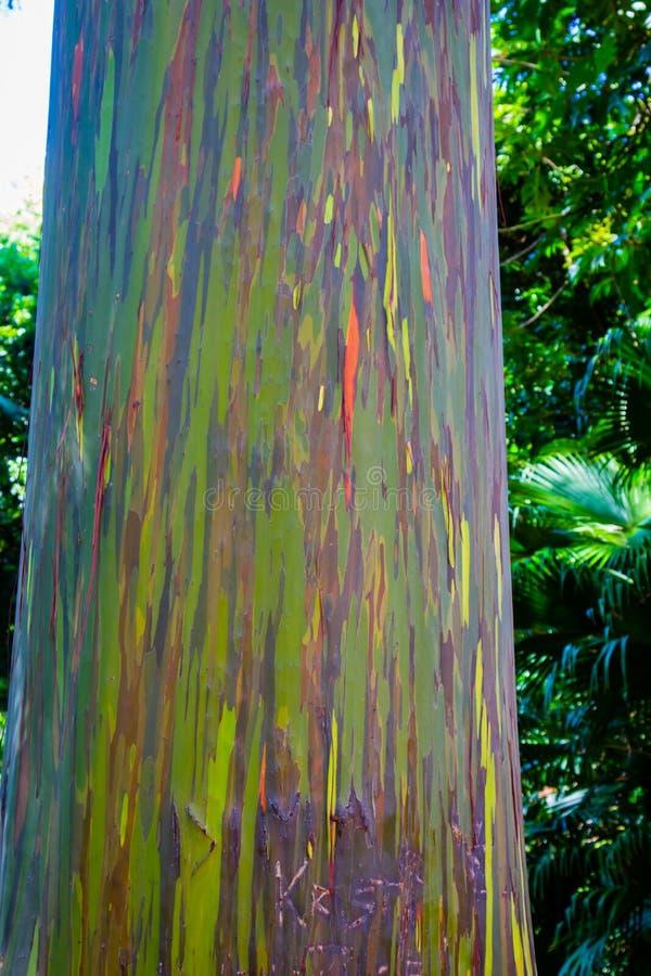 Regnbågeeukalyptusträd arkivbilder