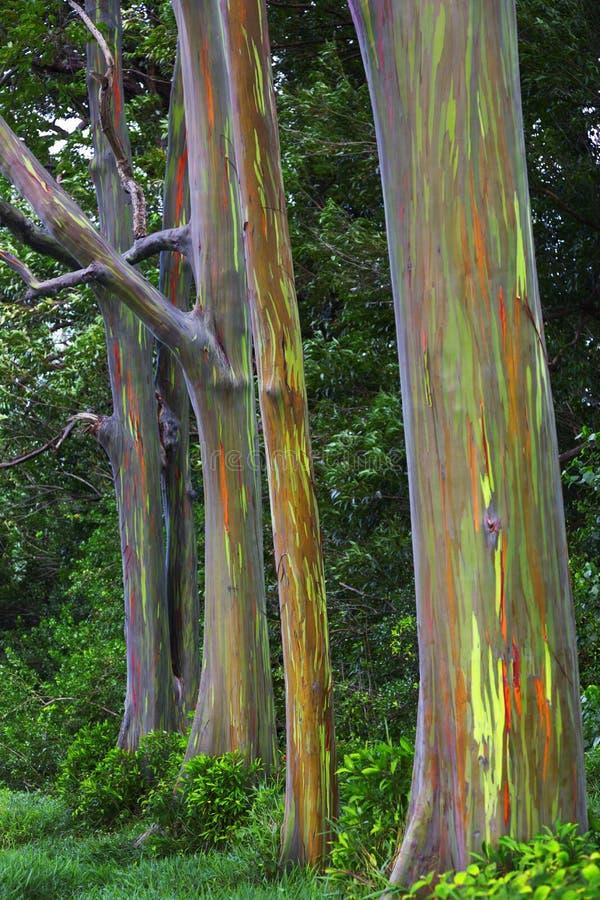 Regnbågeeukalyptusträd arkivbild