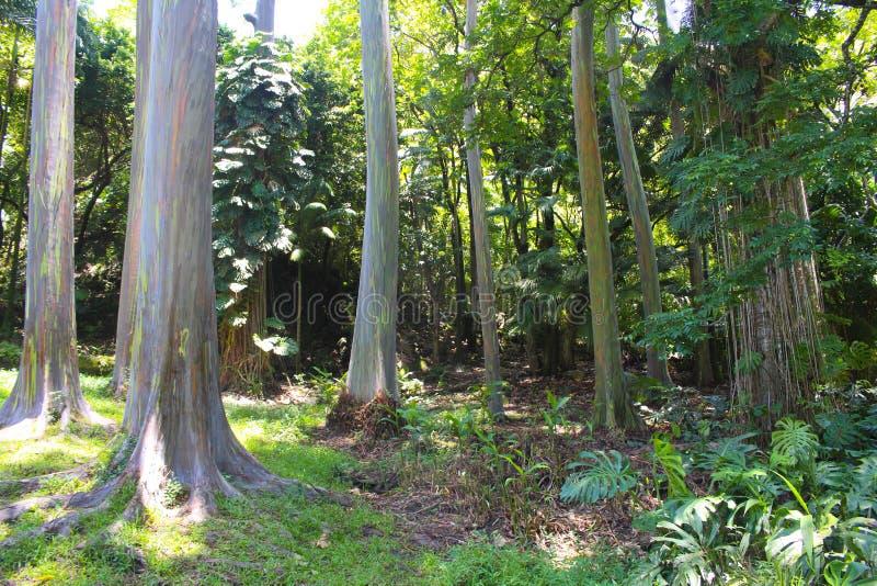 Regnbågeeukalyptusträd i hawaii royaltyfri foto