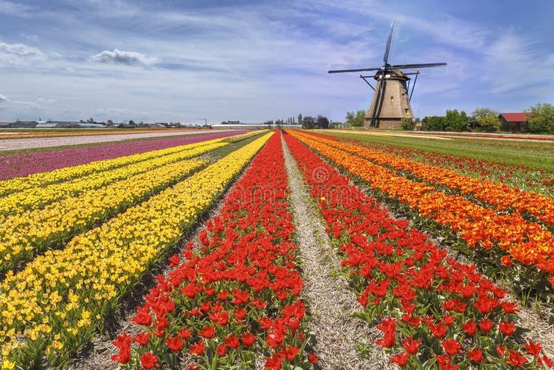 Regnbågefärg av en tulpanlantgård arkivfoton