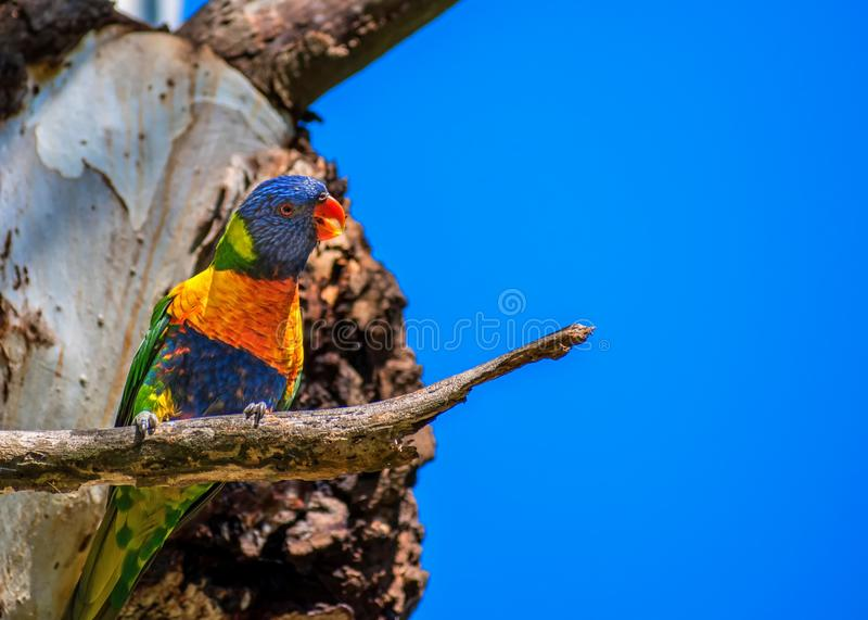 RegnbågeLorikeet fågel i trädet royaltyfri fotografi