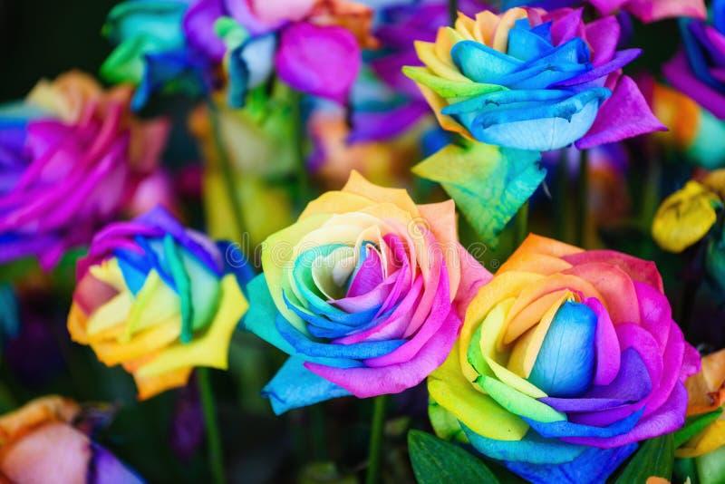 regnbågen steg blommor med färgrika kronblad royaltyfri foto