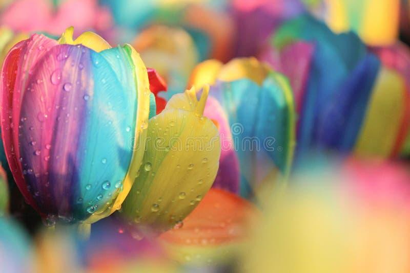 Regnbågetulpan arkivbilder