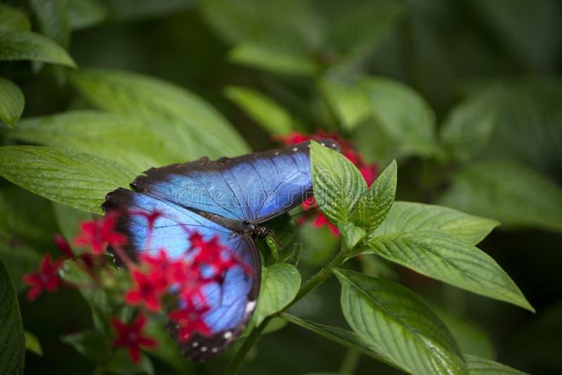 Regnbågsskimrande blå Morpho fjäril i fjärilshuset på Fairchild den tropiska botaniska trädgården arkivbild