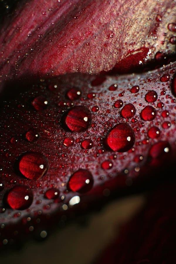 Regndroppar av dagg på knoppen av en röd blomma royaltyfri foto
