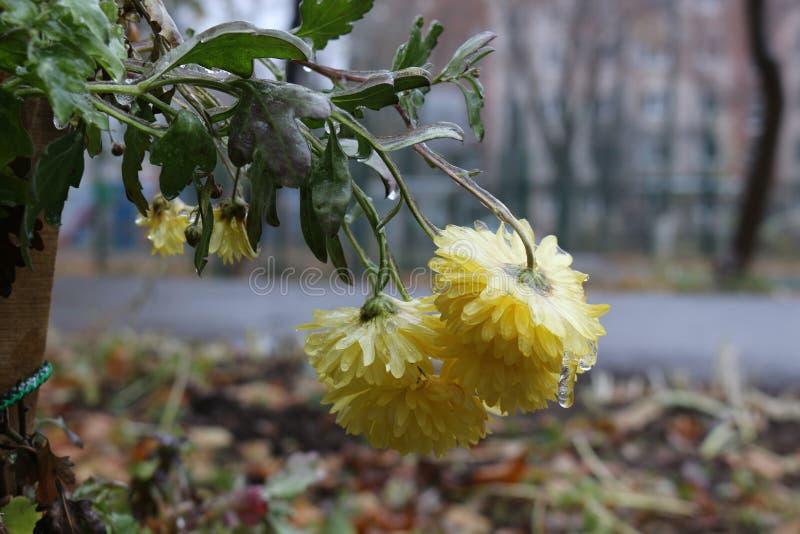 Regndroppar fryste på blommorna arkivbild