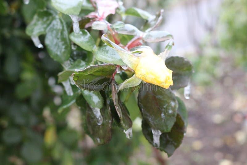 Regndroppar fryste på filialerna och blommorna av rosor fotografering för bildbyråer