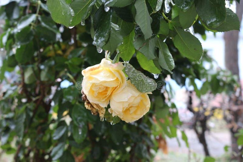 Regndroppar fryste på filialerna och blommorna av rosor royaltyfri bild