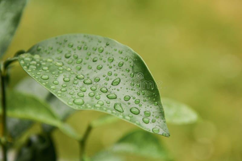 Regndroppar på det gröna citrusa bladet efter regnet royaltyfri foto