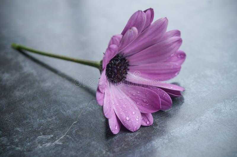 regndroppar på purpurfärgad tusensköna på tabellen royaltyfria foton