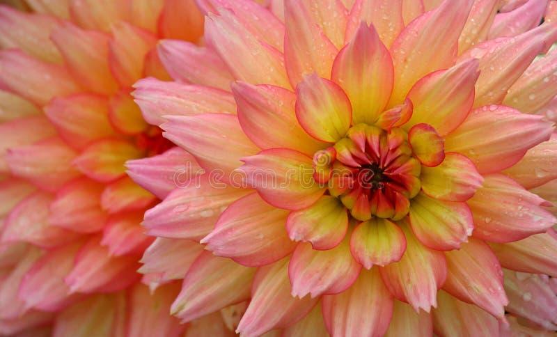 Regndroppar på rosa färg- och gulingblomman arkivbilder
