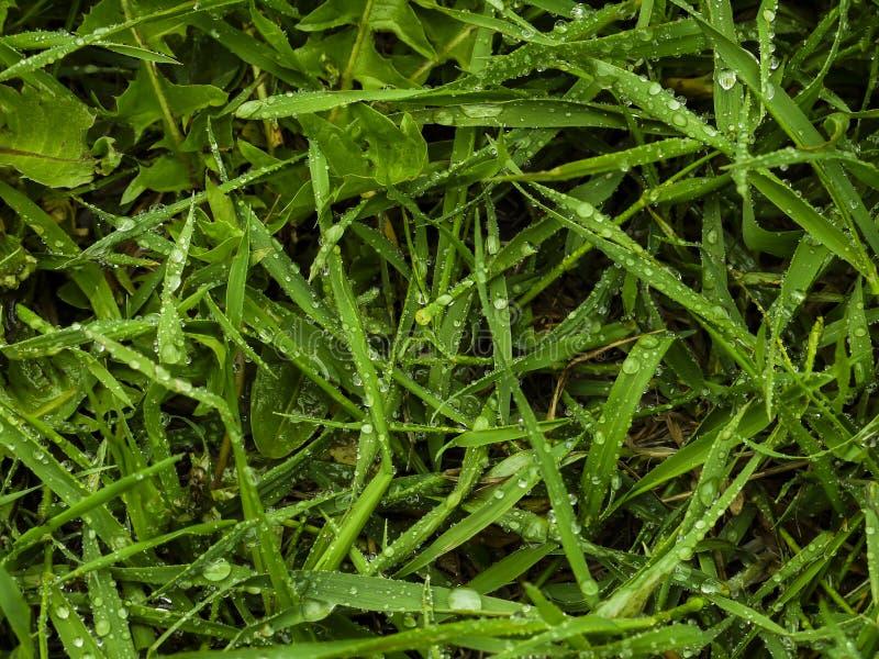 Regndroppar på sidorna av nytt grönt änggräs fotografering för bildbyråer