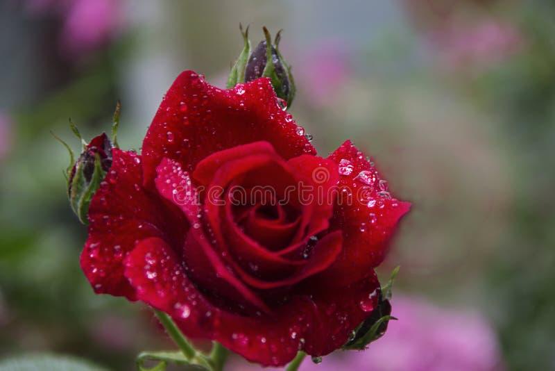 Regndroppar steg sommar i den röda trädgården, bakgrund royaltyfri foto