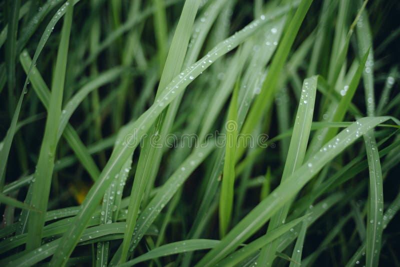 Regnen Sie Tropfen auf grünen Gräsern am bewölkten Tag lizenzfreie stockfotografie
