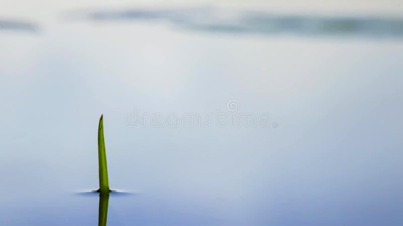 Regnet i en många grässlätt växten skulle drunkna, men gräs blomstrar deras sidor stiger snabbt ovanför vattnet och in i solljuse arkivbild