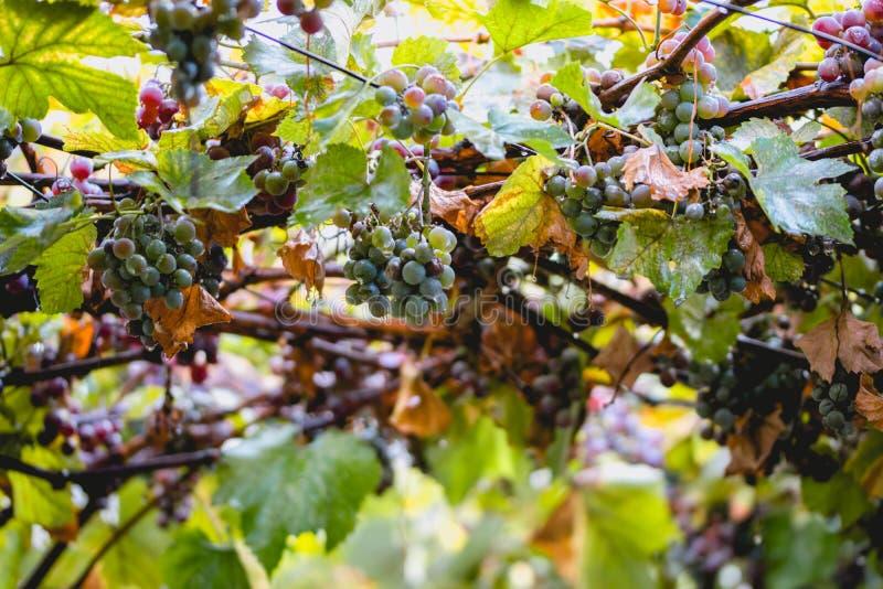 Regnig dag i Napaet Valley, Kalifornien Hösthot av druvor och droppar av vatten royaltyfria bilder