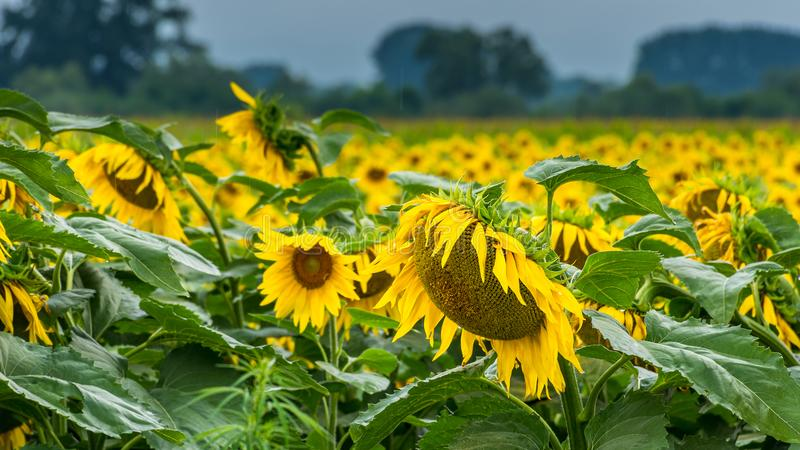 Regnig dag i solrosfältet royaltyfria bilder