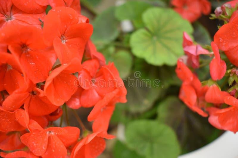 Regniga orange blommor arkivbild