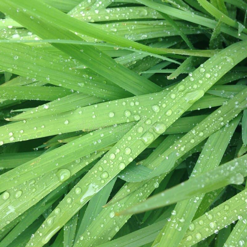 regnigt gräs royaltyfria bilder