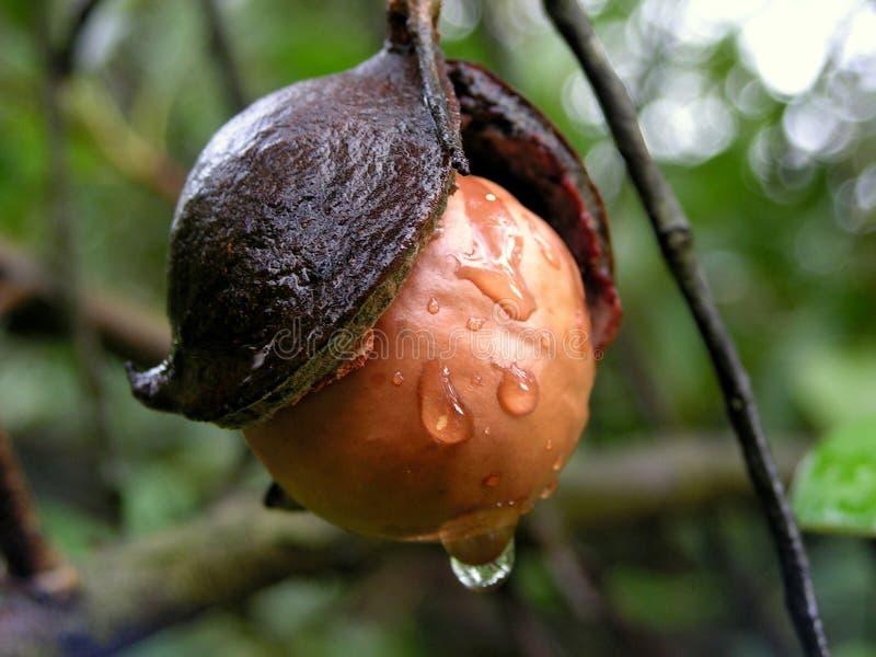 regnigt väder för macadamiamutter arkivbild