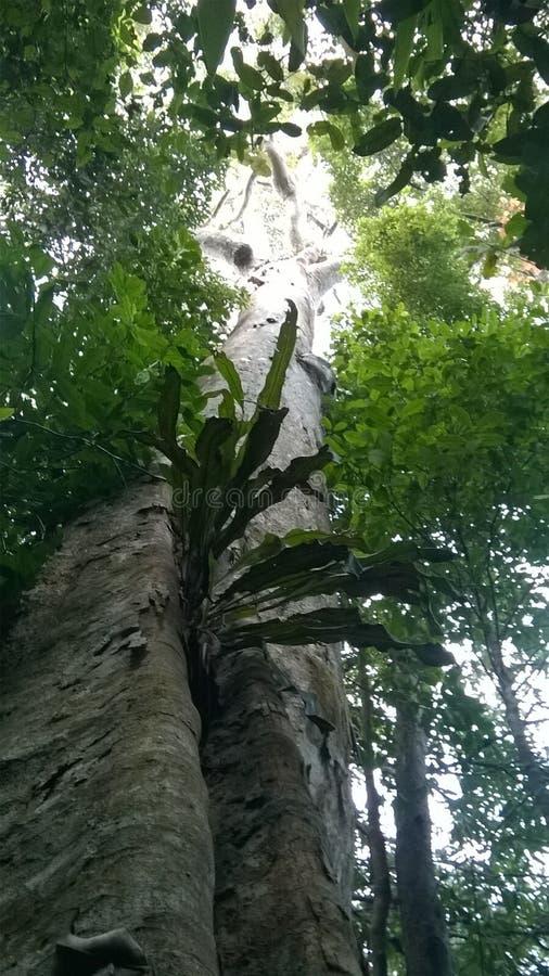 Regnskogträd i Sri Lanka royaltyfria bilder