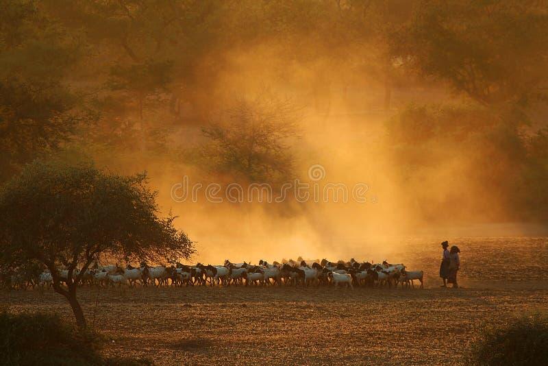 Regresando a casa con cabras Bagan, Myanmar fotografía de archivo