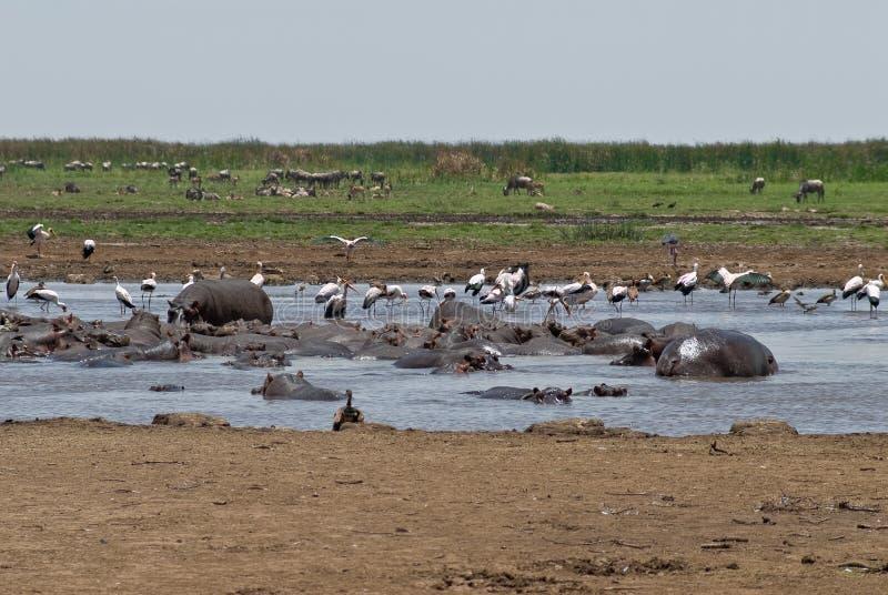 regroupement d'hippopotame image stock