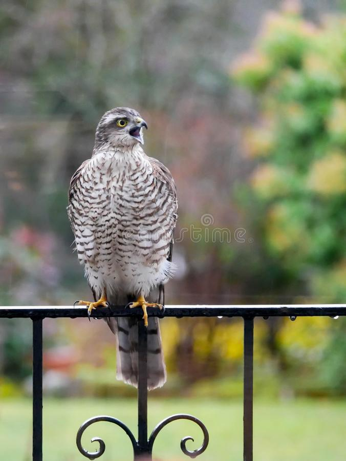 Sparrowhawk in the garden stock photo