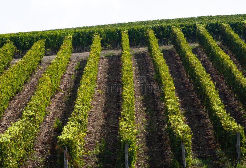 Regulars rows in a tuscan wineyard royalty free stock photo