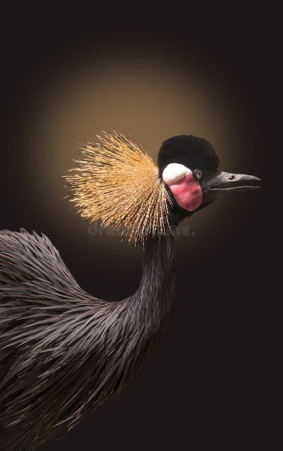 Regulorum de Grey Crowned Crane Balearica em um fundo preto fotos de stock