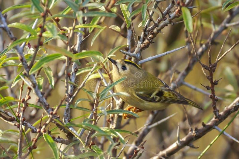 Regulus de Regulus d'oiseau de Goldcrest forageant par des branches des arbres et du buisson photo stock