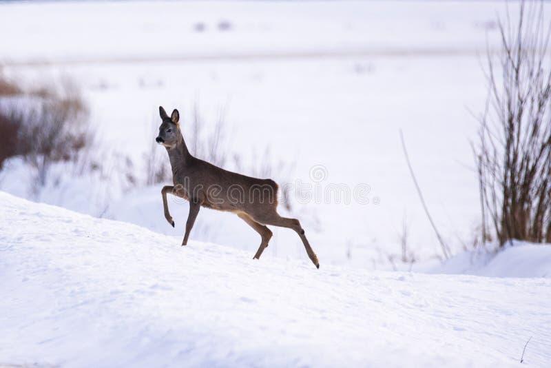 Rehe auf Schnee durchgesetzter Forderung lizenzfreie stockfotografie