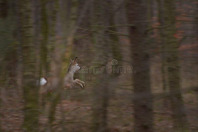 Rehe, die in den Wald laufen stockfoto