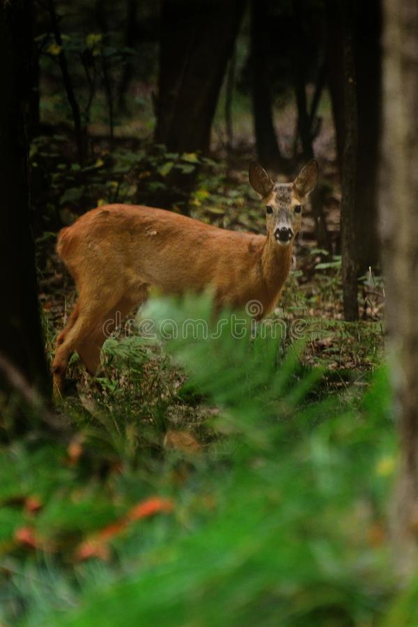 Rehe, die im Wald stehen lizenzfreie stockfotos