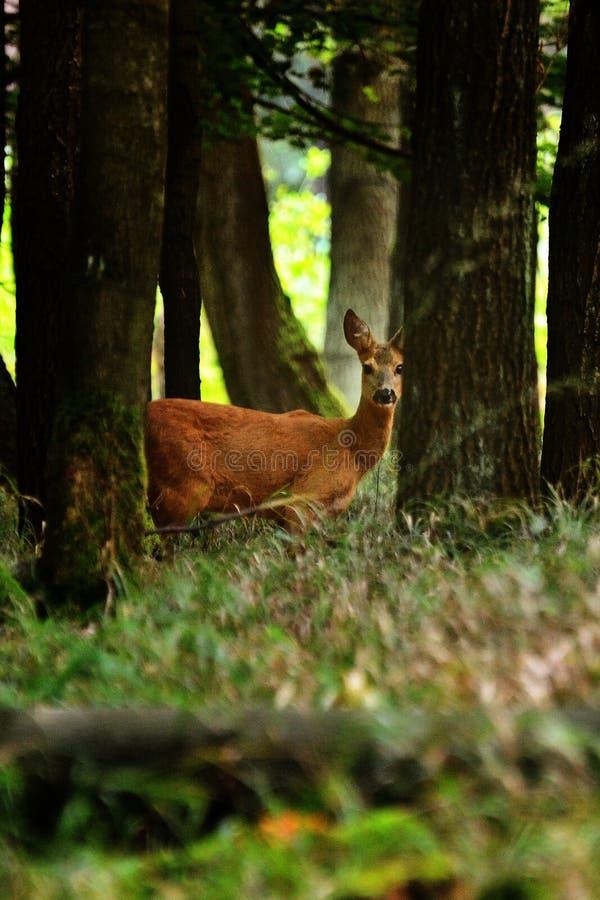 Rehe, die im Wald stehen stockfotos