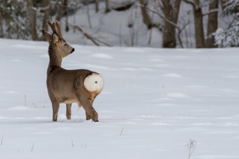 Rehe, die in Schnee in Schweden gehen lizenzfreies stockbild