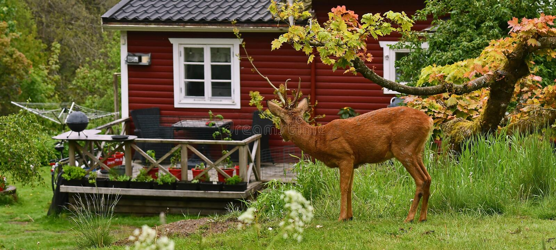 Rehe gerade au?erhalb eines kleinen s??en roten Holzhauses stockbild