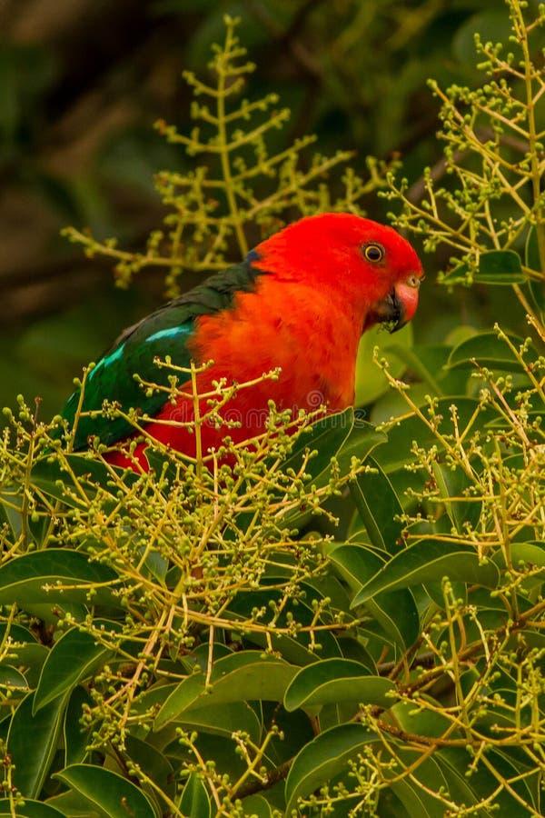 Rei australiano Parrot Alisterus Scapularis Canberra imagem de stock royalty free
