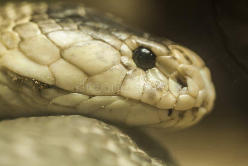 Rei Cobra fotografia de stock
