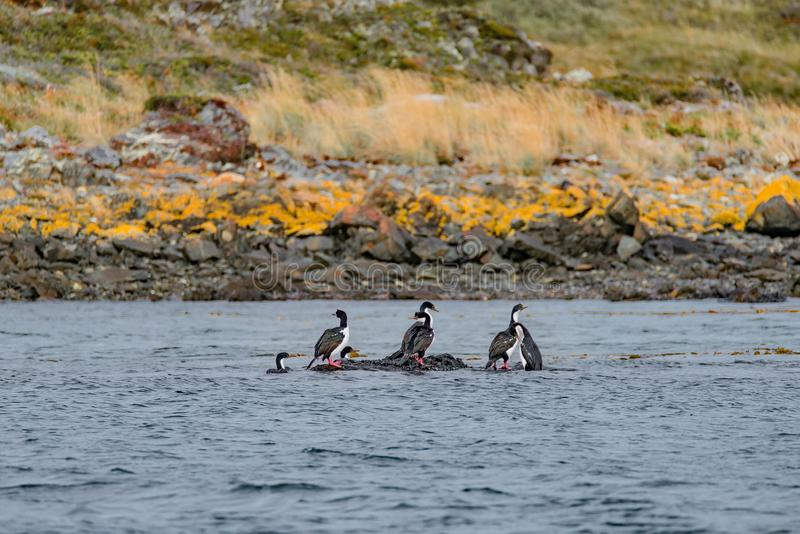 Rei Cormorants e florestas e baías coloridas mágicas do conto de fadas em Tierra del Fuego National Park, canal do lebreiro, Pata imagens de stock