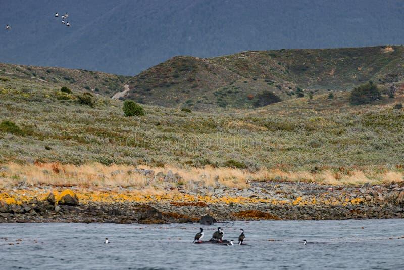 Rei Cormorants e florestas e ba?as coloridas m?gicas do conto de fadas em Tierra del Fuego National Park, canal do lebreiro, Pata imagem de stock royalty free