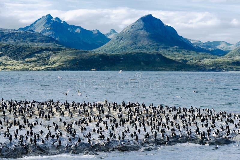 Rei Cormorants On Ilha Dos Passaros Located no canal do lebreiro, Tierra Del Fuego, Argentina imagem de stock royalty free